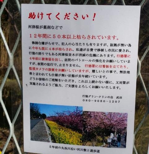 行徳河津桜被害