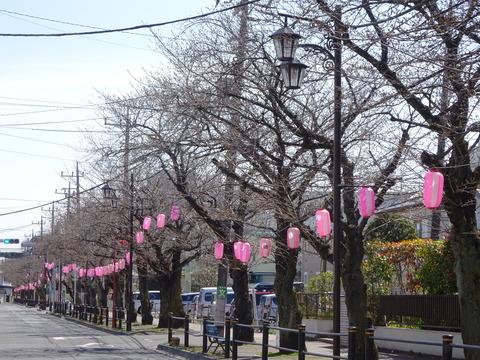 曽谷小学校前桜並木通り2017