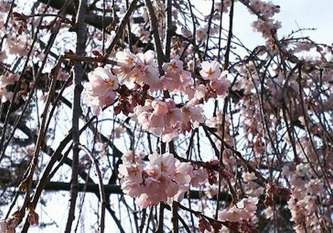 しだれ桜2017