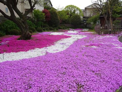 市川市郭沫若記念館の芝桜2