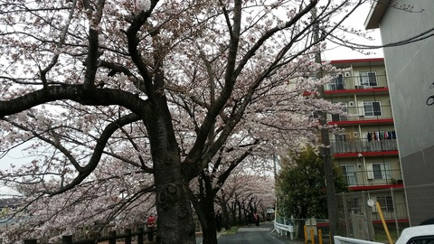 北方1丁目の桜2016