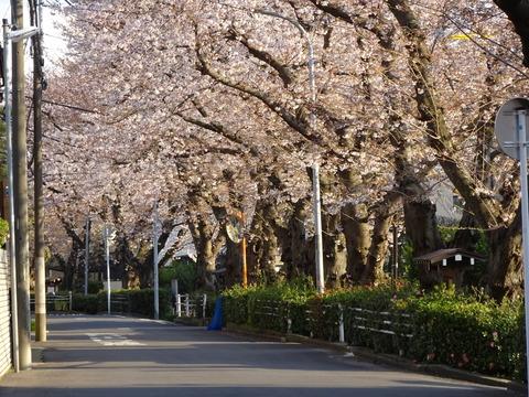 桜土手公園の桜2017