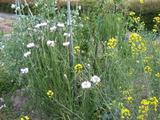 矢車草とターツアイの花