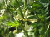 野生種ルッコラの花