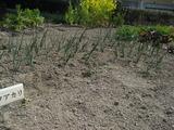玉ねぎの草抜き