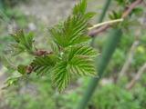 ラズベリーの新芽