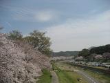 土手の桜も満開です