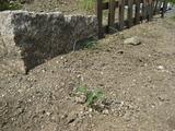 十一郎のミニトマト発芽