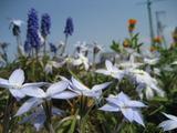 花ニラとムスカリ