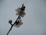 曇り空に梅の花