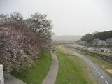 土手の桜3