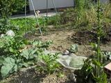 ルバーブ、ジャガイモ、高菜、青しそ、トレビス