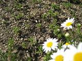 ノースポールのこぼれ種たくさん