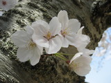 お城の桜2