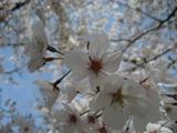 お城の桜3