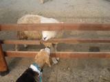 羊さんとお話でも?