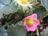ジャンボピュアベリーの花