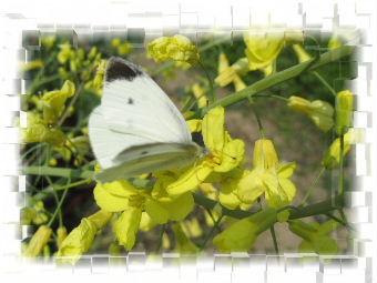コールラビの花