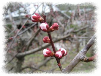 廃屋の梅の木