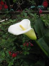 カラー開花