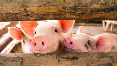 pig-farming-huawei_resize_md