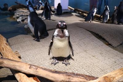 【写真】水族館でペンギン撮ってきた