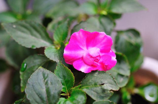 アフリカ鳳仙花(あふりかほうせんか)