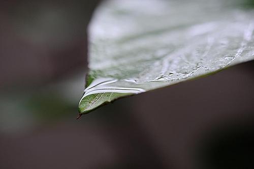 葉っぱと雨水 1
