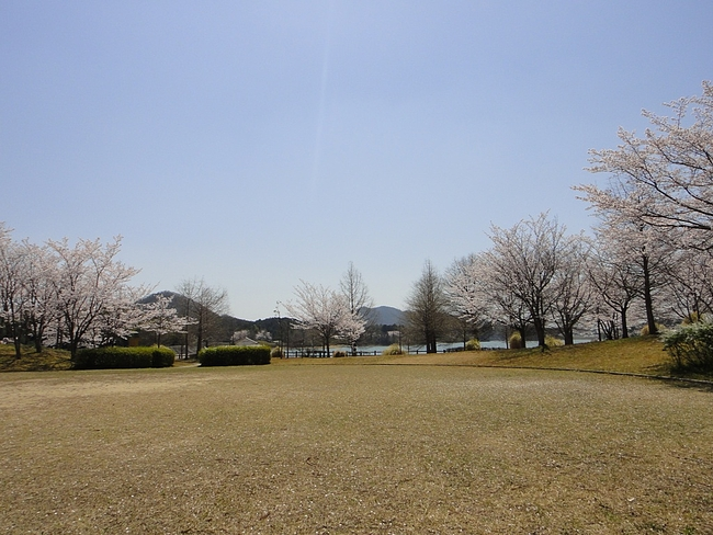 青野ダムの桜