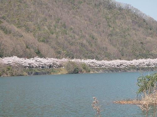 青野ダムの桜 4