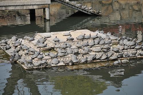 四天王寺の亀