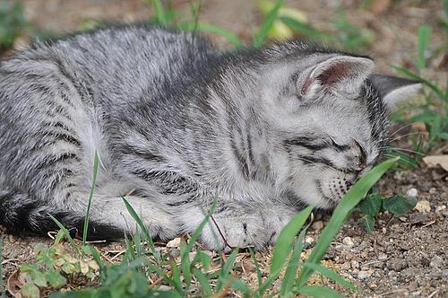 居眠り子猫