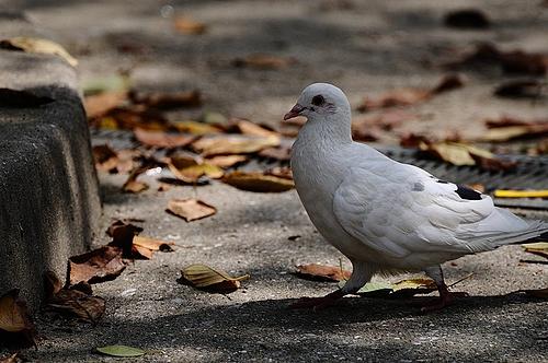 白い鳩 2