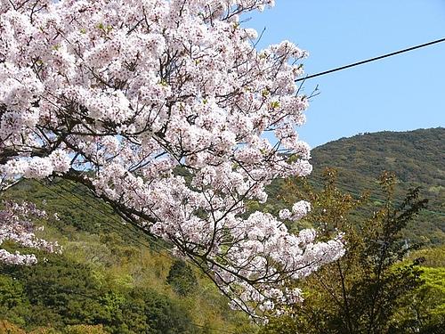 加太休暇村園地の桜