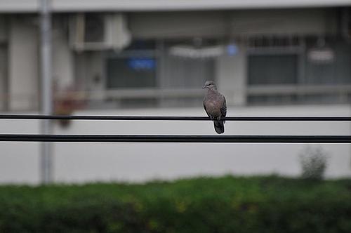 電線にとまった雉鳩