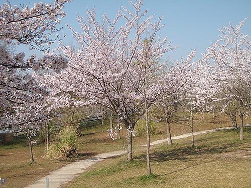 青野ダムの桜 7