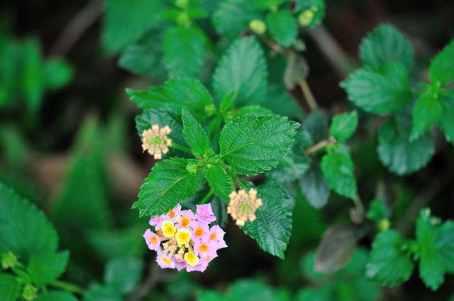 小さいピンクの花