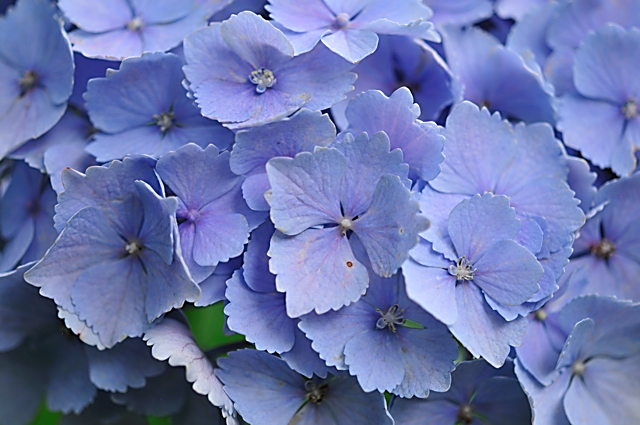 紫陽花(あじさい)