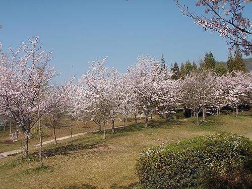 青野ダムの桜 8