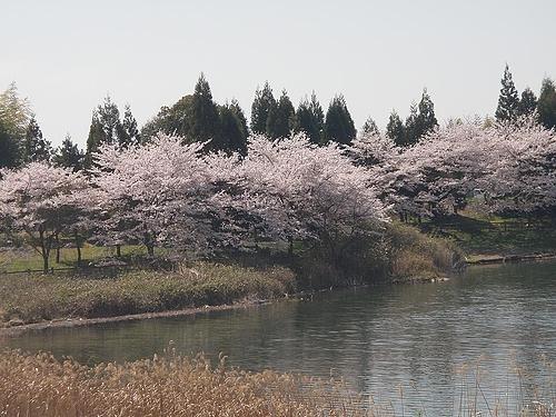 青野ダムの桜 2