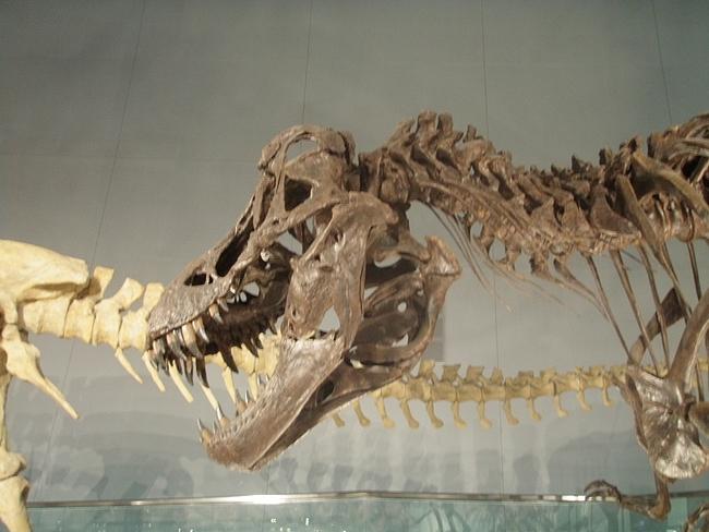 ティラノザウルスの化石標本