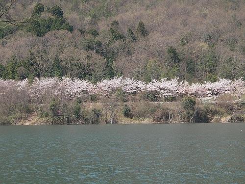 青野ダムの桜 3