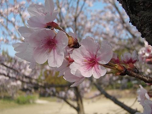 青野ダムの桜 5