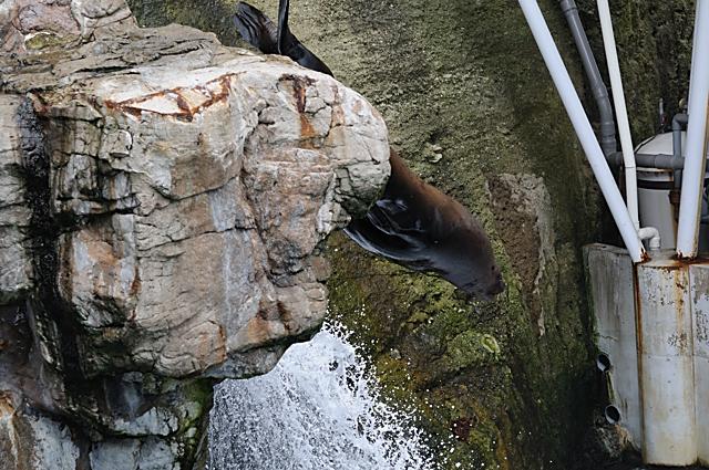 トドのダイビング