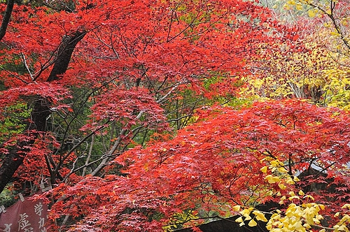 犬鳴山の紅葉