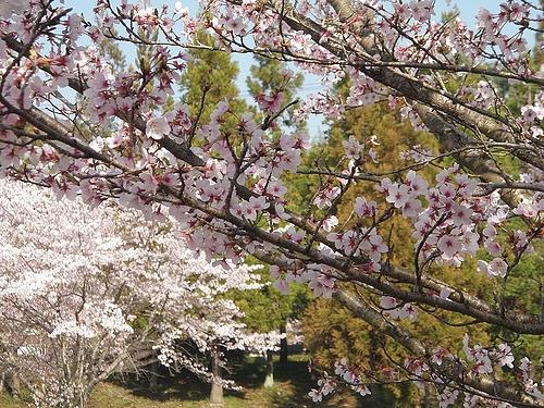 青野ダムの桜 6