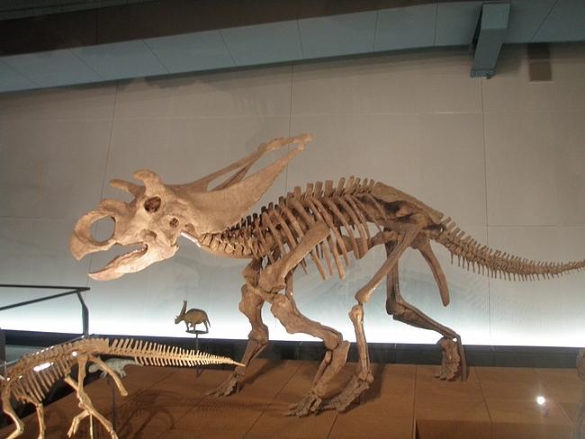 トリケラトプスの化石標本