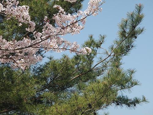 青野ダムの桜 1