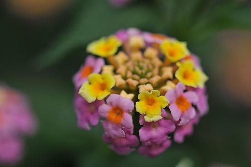 ランタナの花(アップ)