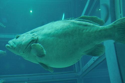 ポットベリーなお魚さん